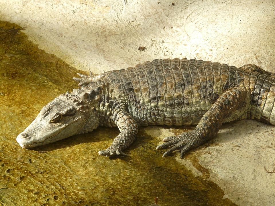 diferencias-cocodrilos-caimanes