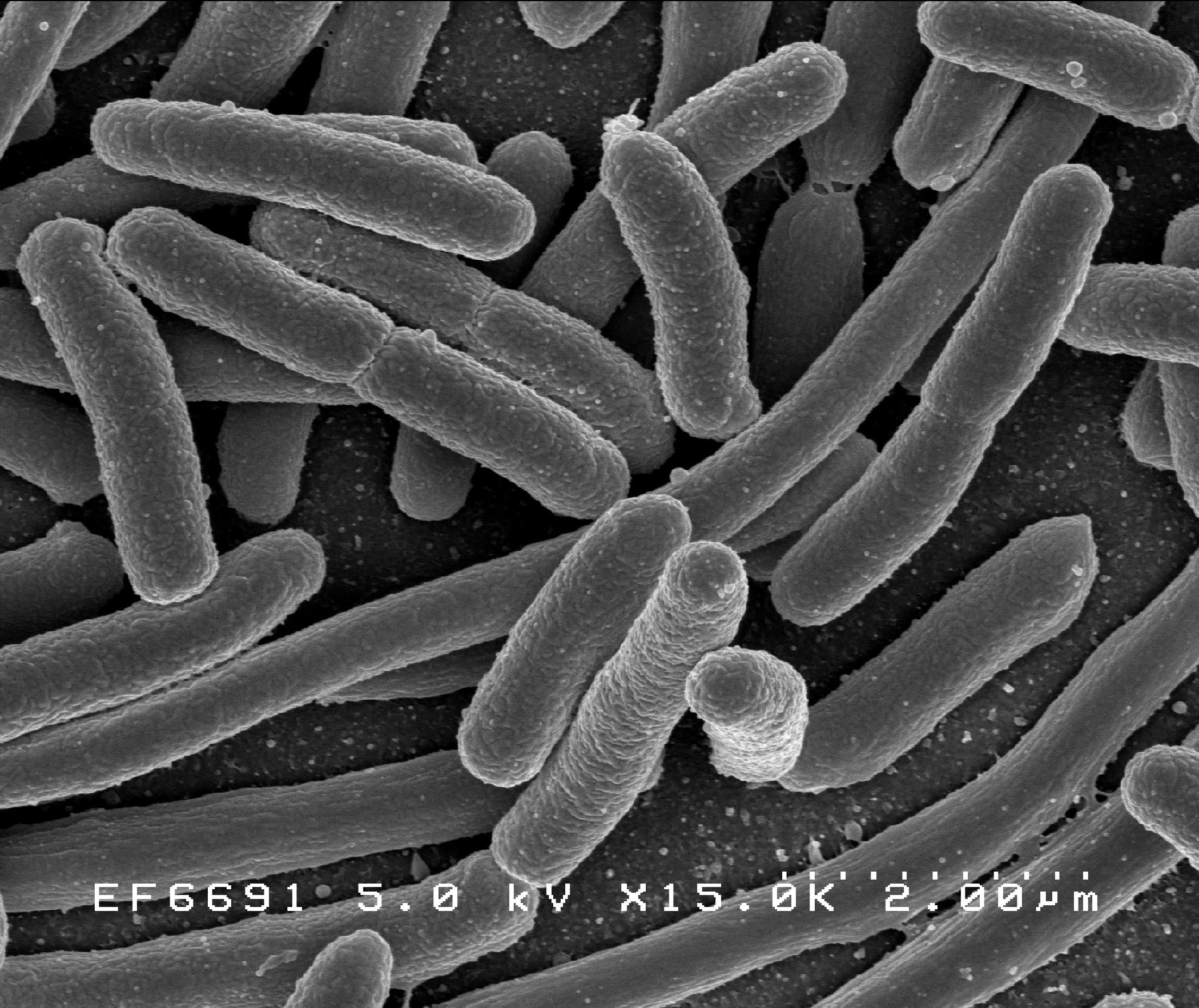 como-reproducen-bacterias