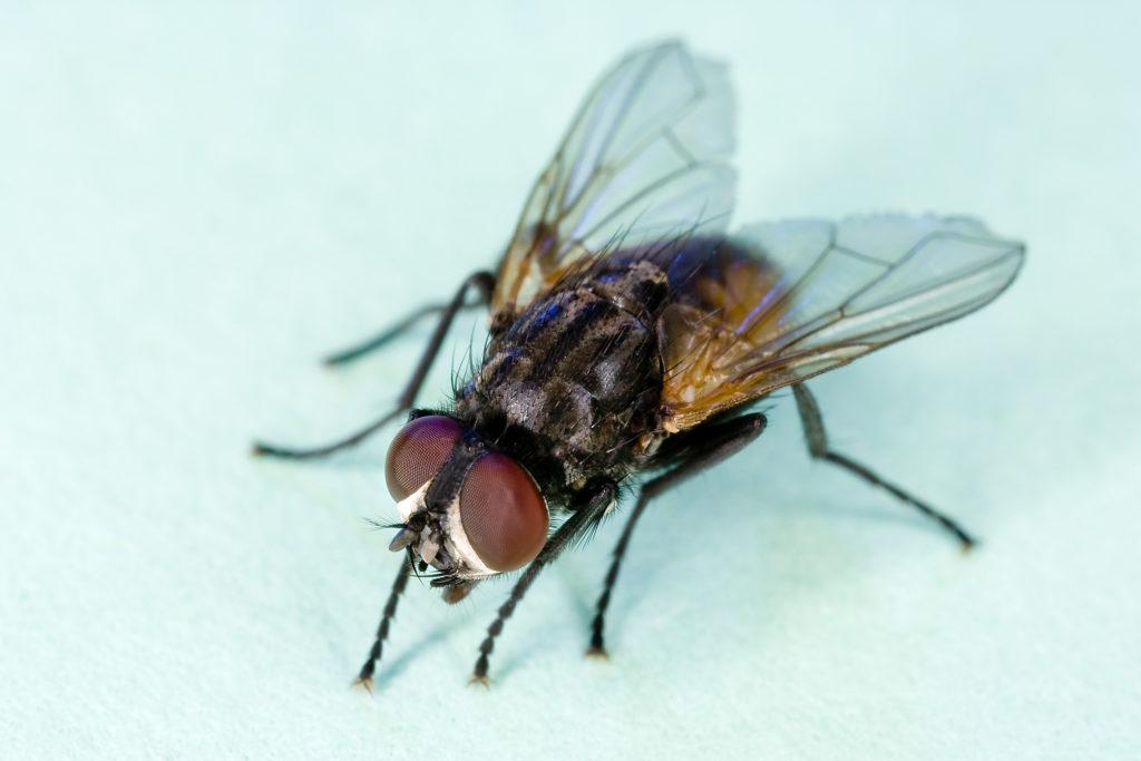 Cuánto vive una mosca