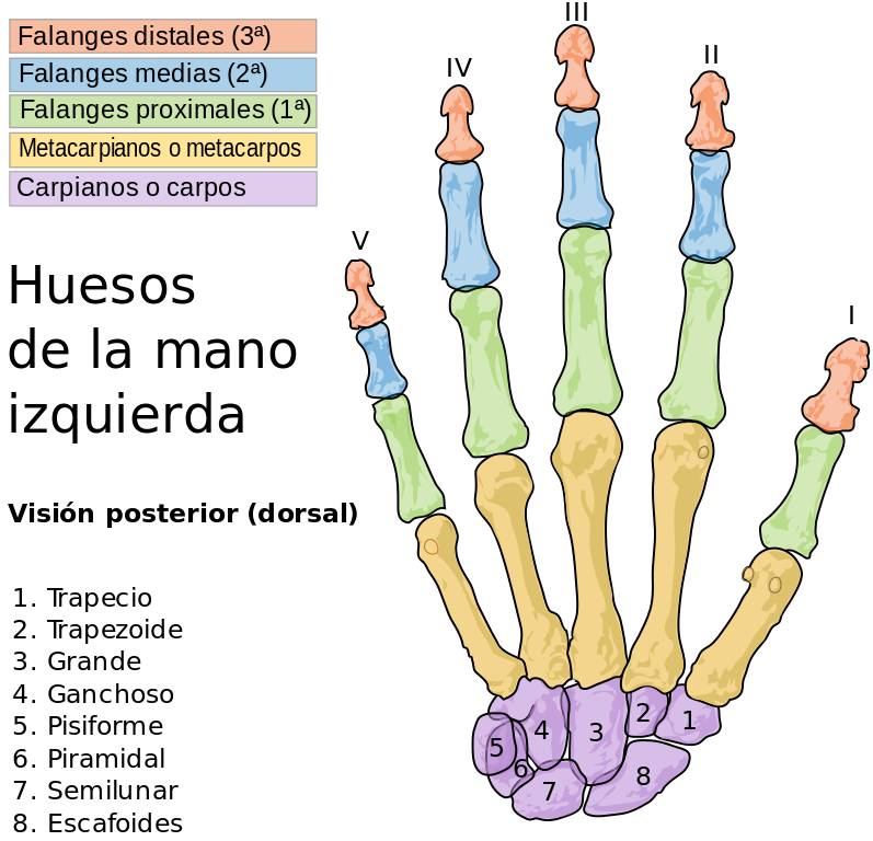 Cuántos-huesos-mano