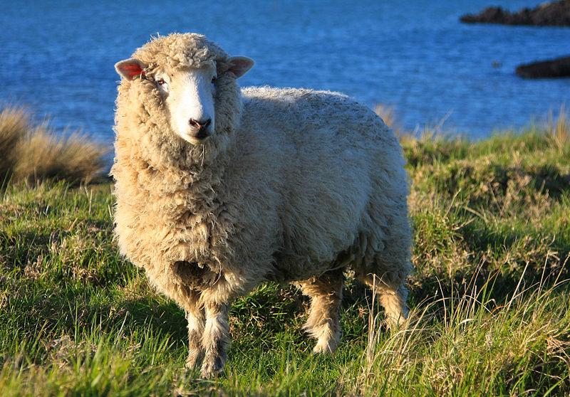 oveja-dolly-primer-mamifero-clonado-historia