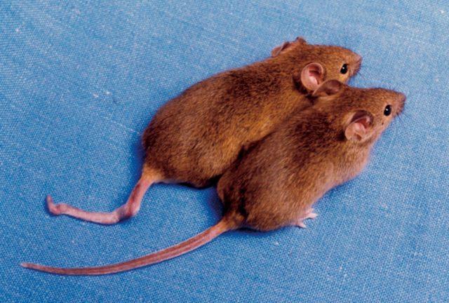 Clonación de animales en peligro de extinción