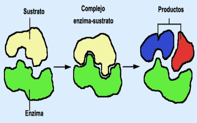 Cómo funcionan las enzimas