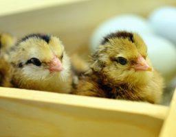 Conoce el proceso de gestación de un pollo