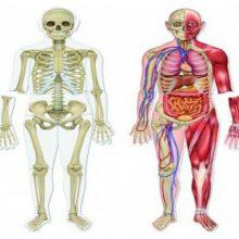 El cuerpo humano en cifras