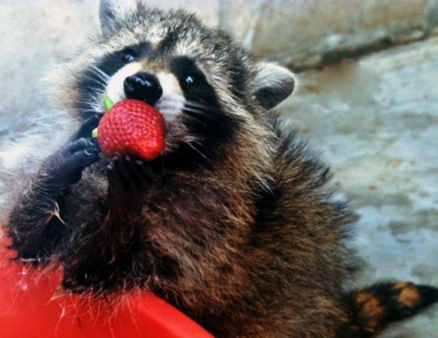 datos sobre los mapaches