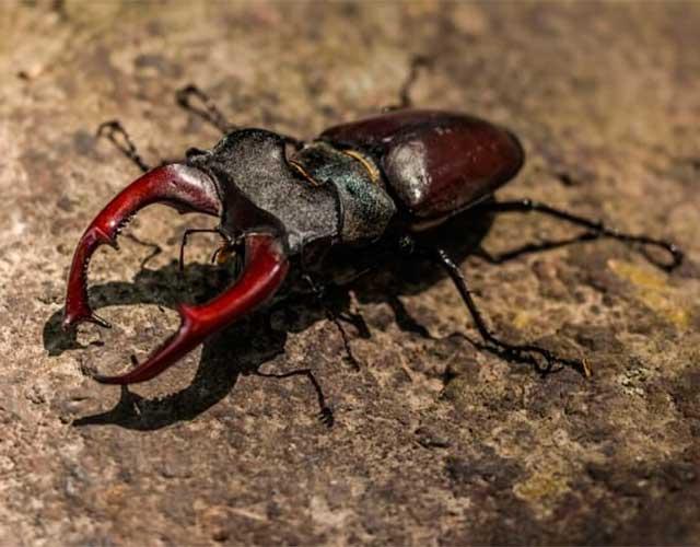 Datos sobre escarabajos