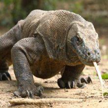 8 curiosidades sobre el dragón de Komodo