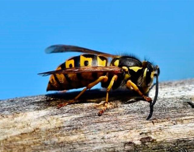 Cosas que no sabías sobre las avispas
