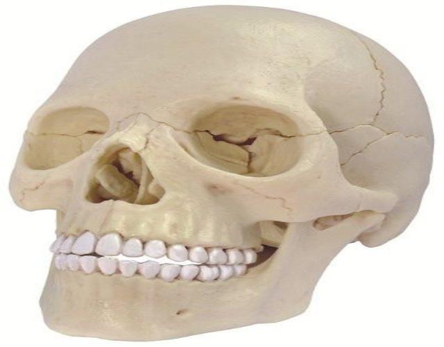 ¿Cuántos huesos tiene el cránero?