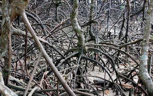 Distribución de los manglares