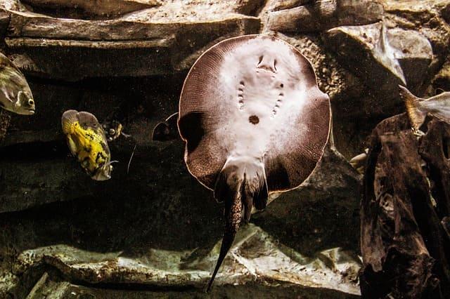 pez raya