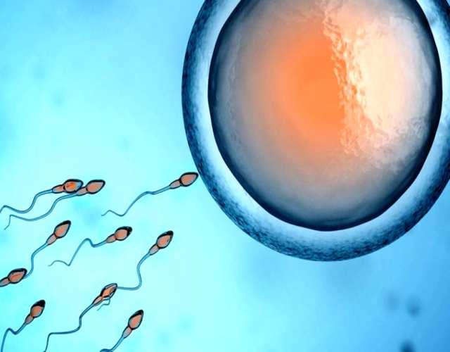 Cómo atrae el óvulo al espermatozoide