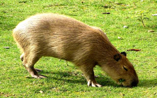 El carpincho, un gran roedor