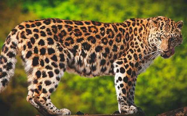 El leopardo, depredador feroz