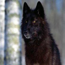 El lobo negro de Norteamérica