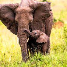 Los animales con mayor duración del embarazo