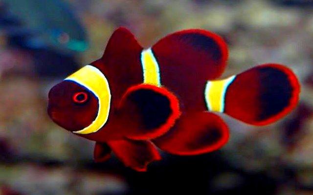 Los fascinantes pez payaso