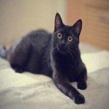 Por qué los gatos negros dan mala suerte