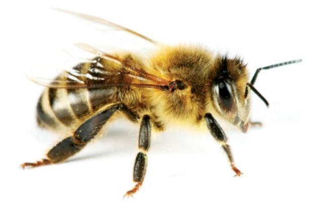 Por qué pican las abejas