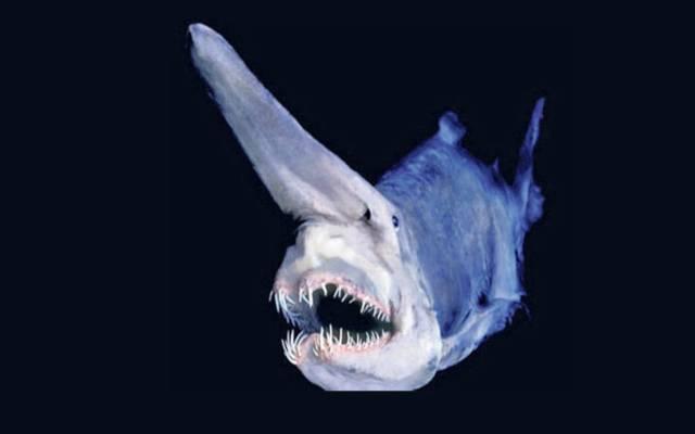 Todo sobre el tiburón duende
