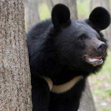 tipos de osos