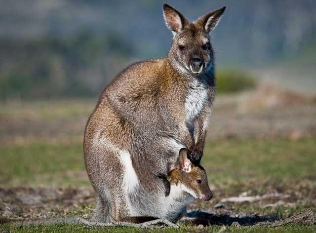 marsupiales