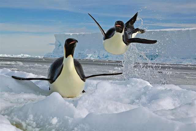 Datos intersantes sobre el pingüino emperador