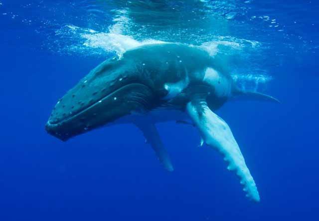 El fascinante canto de las ballenas