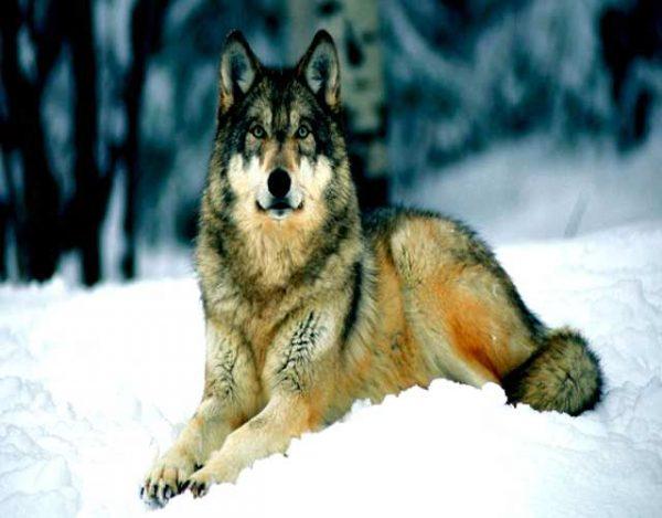 Curiosidades sobre los aullidos de lobos