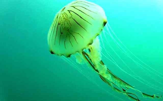 Datos fascinantes sobre la medusa