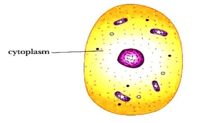 Qué es el citoplasma