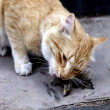 Por qué los gatos traen un animal muerto