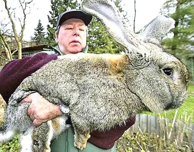 Razas de conejos gigantes