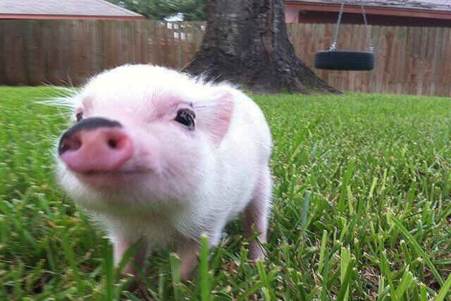 cerdo más inteligente que el perro