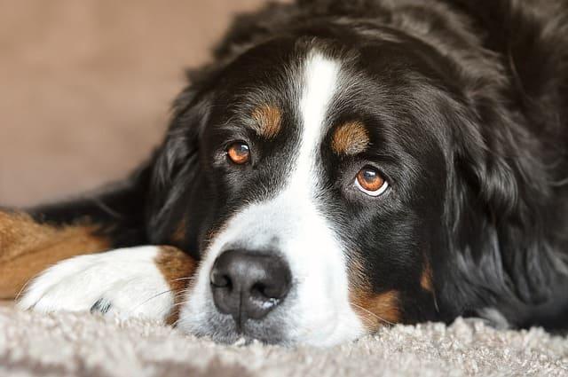 perros grandes