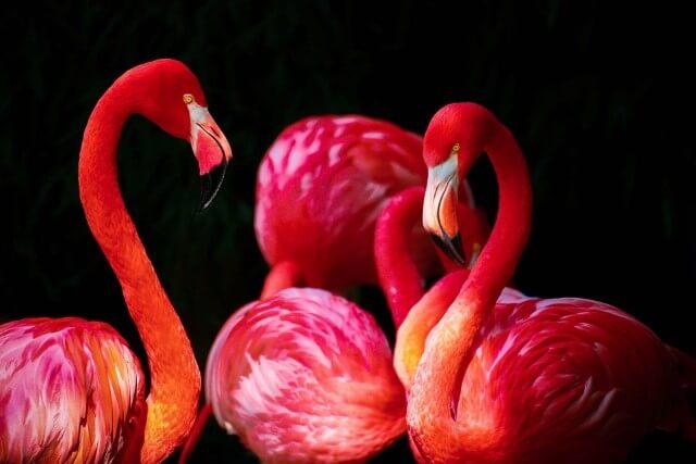 flamencos son de color rosa