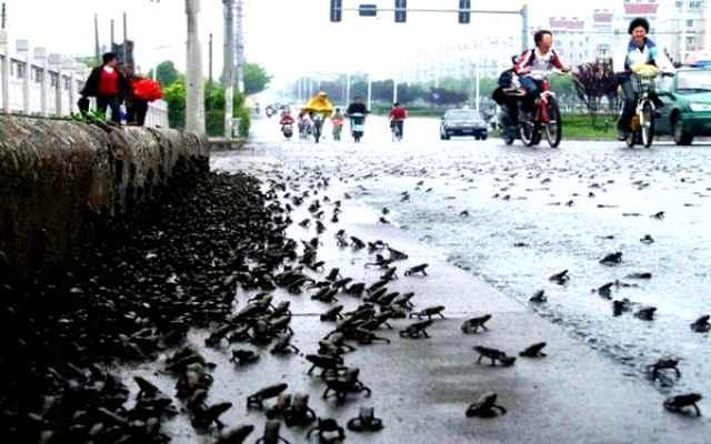 lluvia de sapos