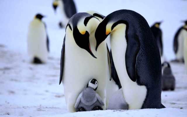 pingüinos viven el hemisferio sur