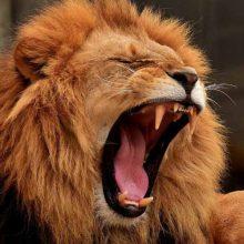 rugen los tigres y los leones