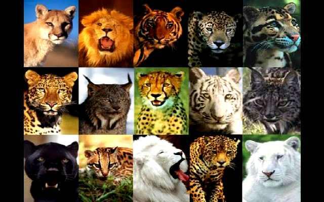 8 datos sobre los felinos