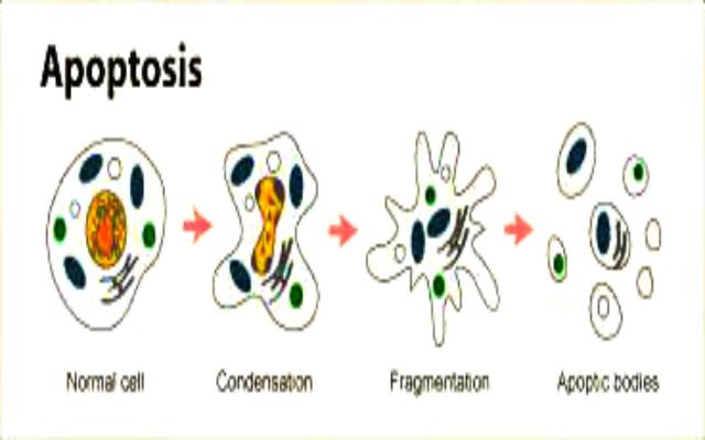 Apoptosis, el suicidio celular