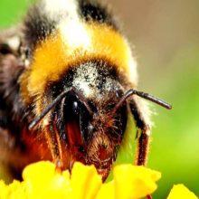 A qué altura pueden llegar los abejorros