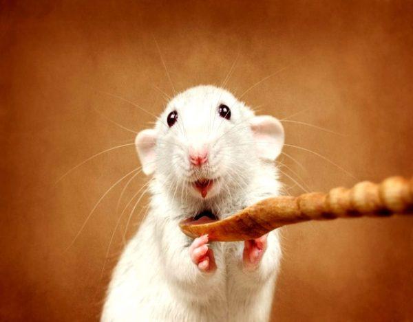 Curiosidades sobre las ratas domesticas