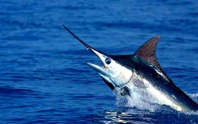 Datos interesantes sobre el pez espada