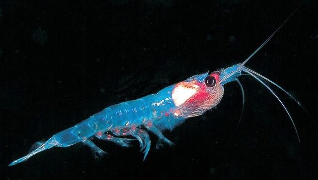 Krill antártico