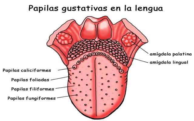 La lengua es el músculo más fuerte