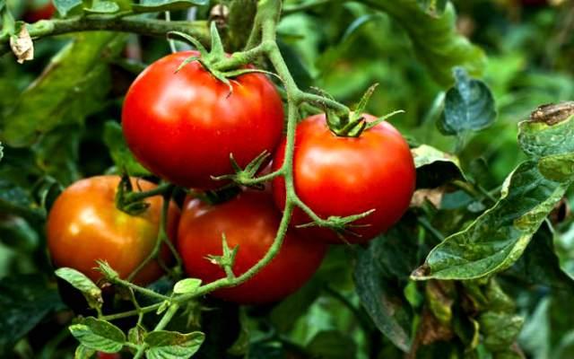 Sabes cuantas variedades de tomates existen