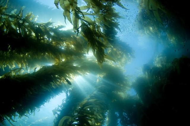 bosques de kelp