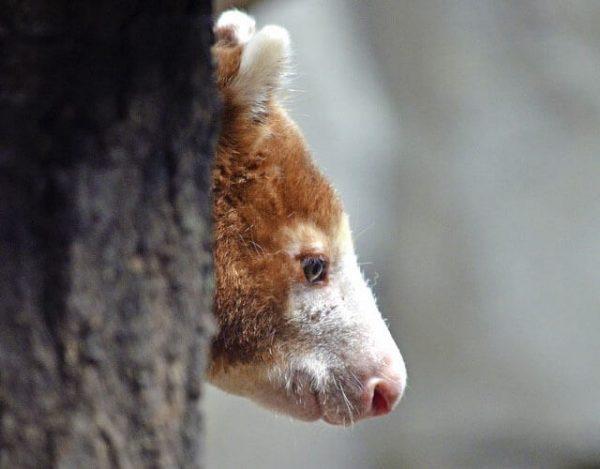canguro de árbol